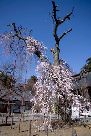 清光寺の糸桜