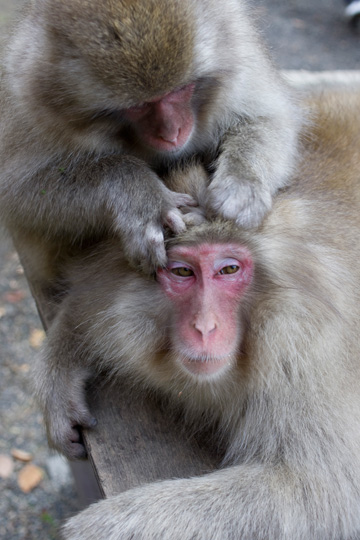 地獄谷 snow monkey